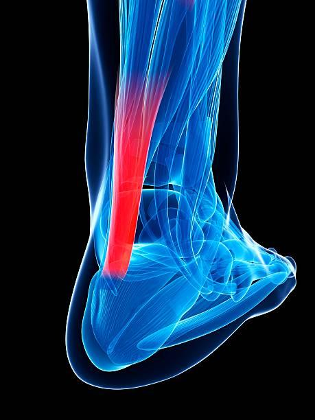 Achilles tendon, computer illustration.